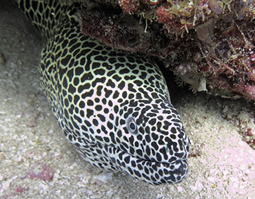 honeycomb-moray2