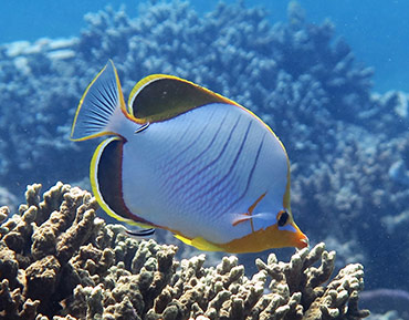 yellowhead-butterflyfish